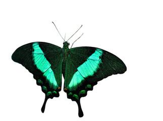 Тропическая изолированная бабочка