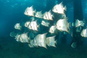 Atlantic Spadefish under a bridge in south east Florida