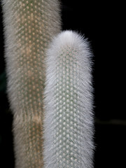 Cactus blanco