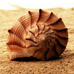 Muschel spiralförmig