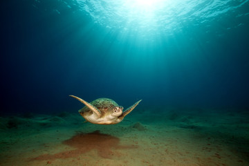 male green turtle.