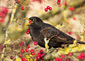 Blackbird (Turdus merula) swallowing a red berry