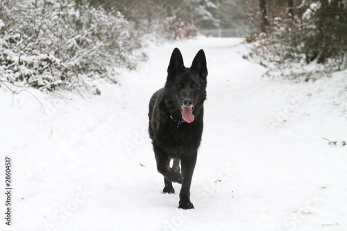 Black German Shepherd Dog In Snow Stock Photo And Royalty Free