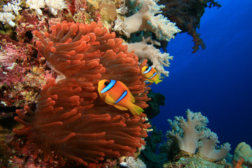 Pair of Anemonefish in Fluorescent Red Anemone