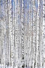 Keuken foto achterwand Berkbosje Winter birch forest - winter serenity.