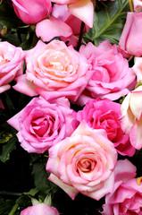 New Rose beautiful