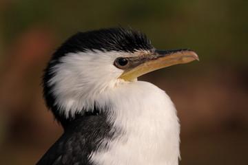 cormoran