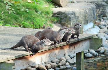 Wall Mural - Otters (L. Lutra) wait for feeding