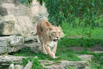 Wall Mural - Lioness (P. Leo) walks