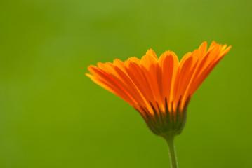 Ringelblume Calendula Officinalis