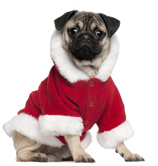 Pug puppy wearing Santa outfit, 6 months old, sitting