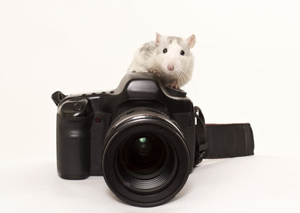 Rat sits on photo to camera