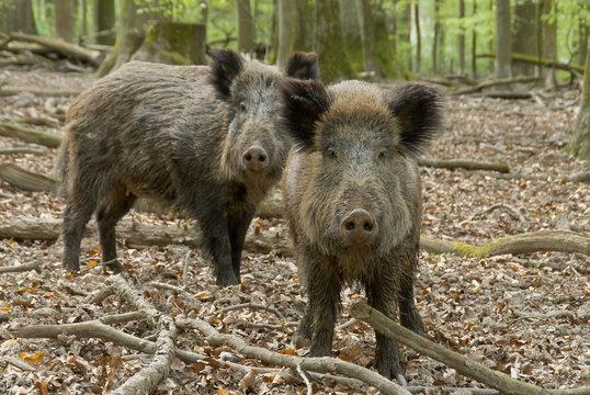 Zwei Wildschweine im Wald