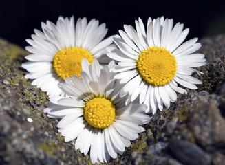 daisy between the rocks