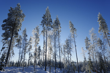winter scenery, trees and forest