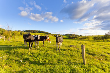 Cows in a meadow, summer, sunny weather