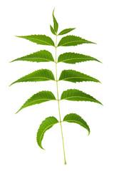 Neem Leaf Sacred Ayurvedic Remedy