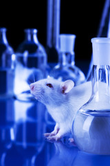 White Rat in laboratory