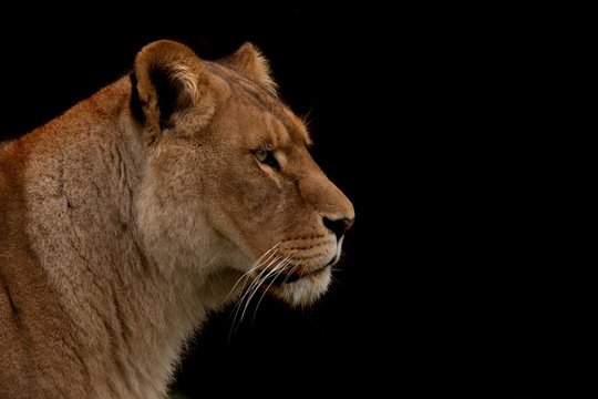 Close up profile of a lion isolated on black