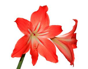 Room flower lilies