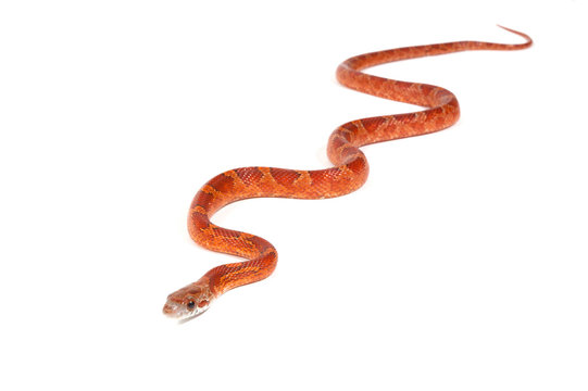 Snake slithering in front of white background, studio shot (Pant