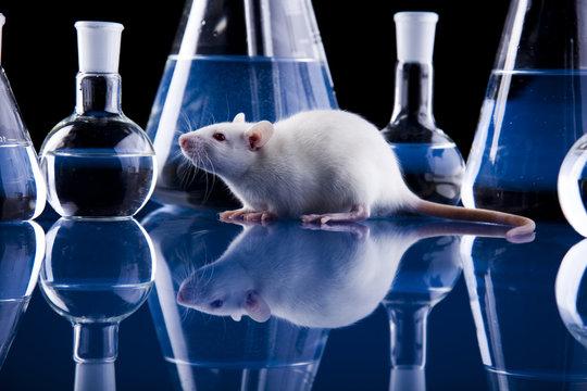 Animal Laboratory, Rat