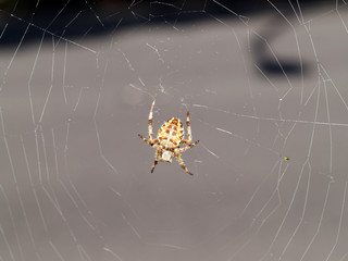 Yellow spider in web with small fly