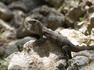 Iguana sobre piedra