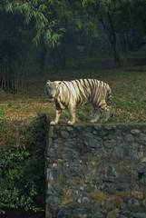 tigre20