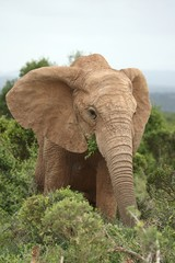 Poster Olifant African Elephant Cow