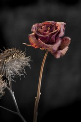 Duality of wilting rose and thistle  on dark background