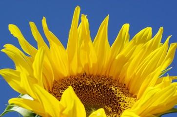 Wall Murals Sunflower Blüte einer Sonnenblumen