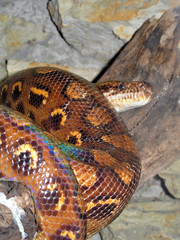 Python rainbow