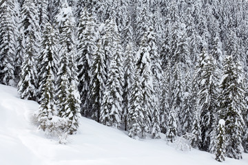 Pine tree forest and snow in winter