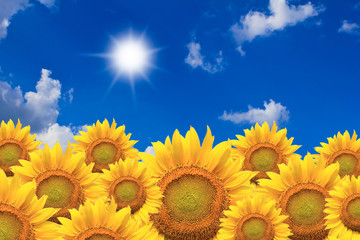 Beautiful sunflowers isolated naturally on blue sky.