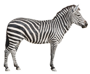 Wall Murals Zebra Plain Burchell's Zebra female standing side view on white
