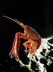 Small lobster and water instantance