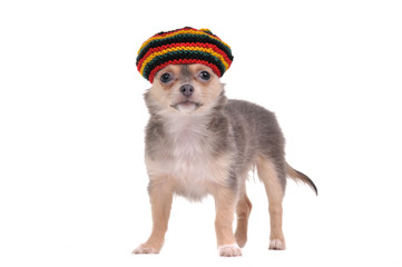 Funny chihuahua puppy in rastafarian hat