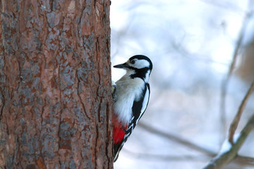 Big spotted woodpecker sits on pine trunk in forest