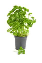 Plant of fresh parsley over white background