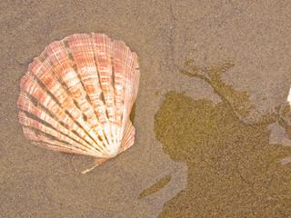 Scallop Shells on a Wet Sandy Beach