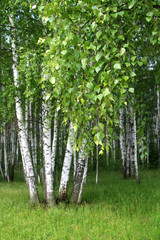 Foto auf AluDibond Birkenwald birch trees with young foliage