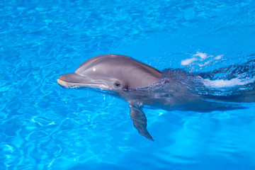 Photo sur Aluminium Dauphins Beautiful dolphin in the water