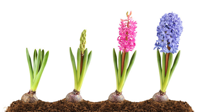 Isolated flowers. Pink and blue hyacinth in the ground in a row in different stages of blooming, isolated on white background