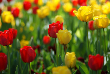 Foto op Aluminium Lente Tulip Garden