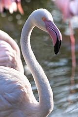 Pink Flamingos in morningsun