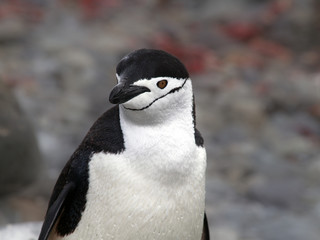 Zügel Pinguin
