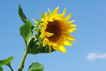Fototapeten Sonnenblume Sonnenblume