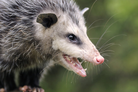 Opossum(Didelphis virginiana) profile