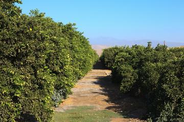 Orangenplantage USA